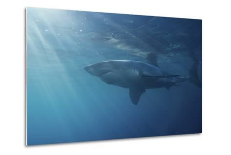 Portrait of a Male Great White Shark, Carcharodon Carcharias, Swimming in Rays of Sunlight-Jeff Wildermuth-Metal Print