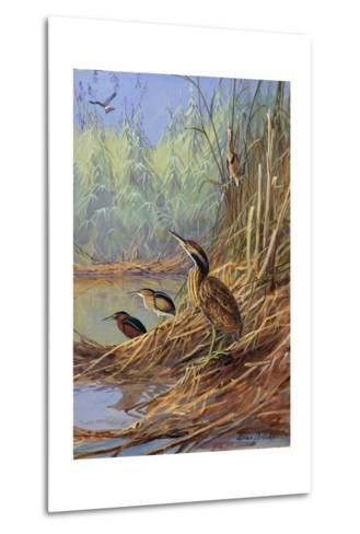 The Brown Feathers of Bitterns Blend with the Variegated Surrounding-Allan Brooks-Metal Print