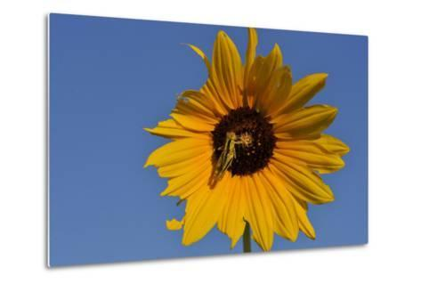 A Two-Striped Grasshopper on a Plains Sunflower-Michael Forsberg-Metal Print