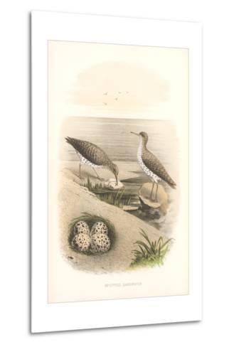 Spotted Sandpipers, Eggs--Metal Print