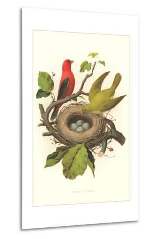 Scarlet Tanager Nest and Eggs--Metal Print
