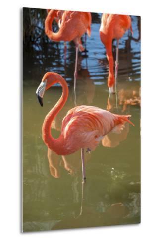 USA, Florida, Orlando. Pink Flamingos at Gatorland.-Lisa S^ Engelbrecht-Metal Print