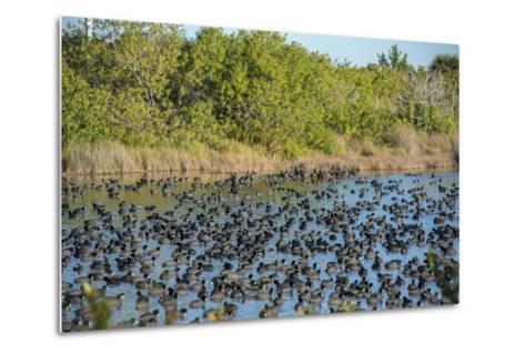 USA, Florida, Merritt Island, National Wildlife Refuge, American Coot.-Lisa S^ Engelbrecht-Metal Print