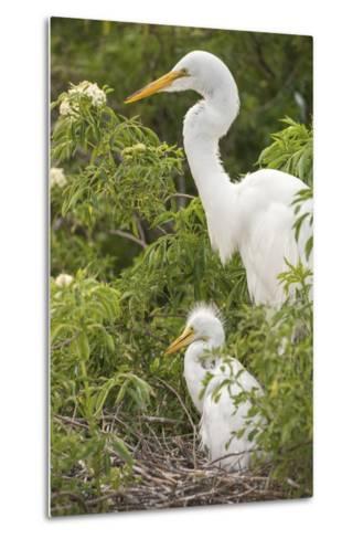 USA, Florida, Orlando. Great Egret and baby egret at Gatorland.-Lisa S^ Engelbrecht-Metal Print