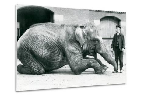 Female Indian Elephant 'Suffa Culli'-Frederick William Bond-Metal Print