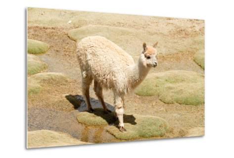 Llama in A Mountain Landscape, Peru-demerzel21-Metal Print