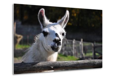 Portrait of A White Lama-cargol-Metal Print