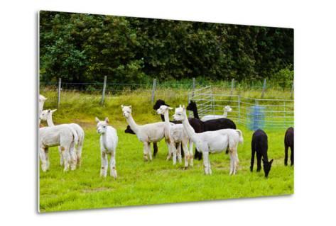 Llamas on Farm in Norway-Nik_Sorokin-Metal Print