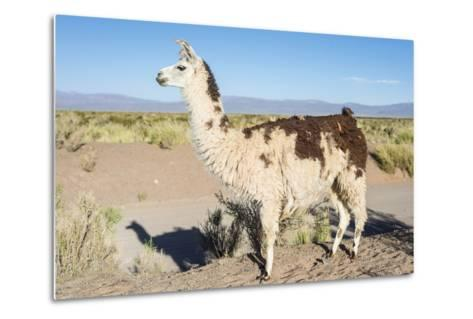 Llama in Salinas Grandes in Jujuy, Argentina.-Anibal Trejo-Metal Print