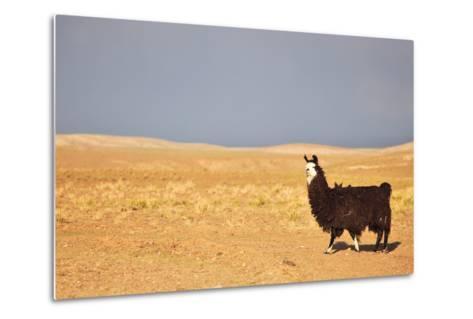 South American Llama-zanskar-Metal Print