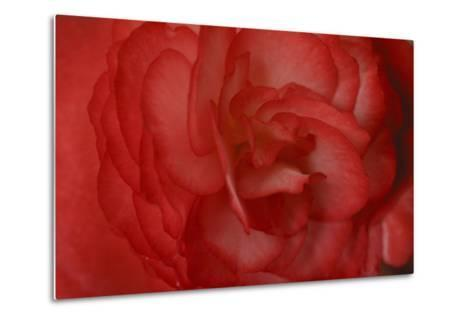 Red Begonia Abstract-Anna Miller-Metal Print