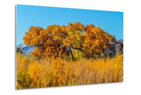 Beautiful Fall Foliage on Cottonwood Trees along the Rio Grande River in New Mexico.-Richard McMillin-Metal Print