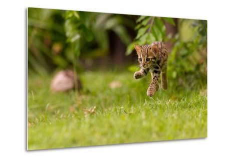 Levitating Leopard Cat-Ashley Vincent-Metal Print