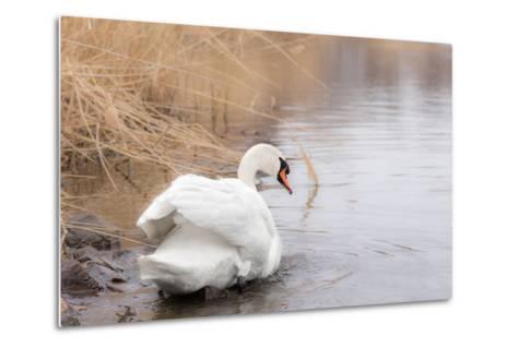 Lone White Swan Looking Back at Onlooker-beyond_a_snapshot-Metal Print