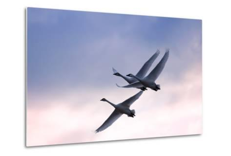 Tundra Swans in Flight-Delmas Lehman-Metal Print