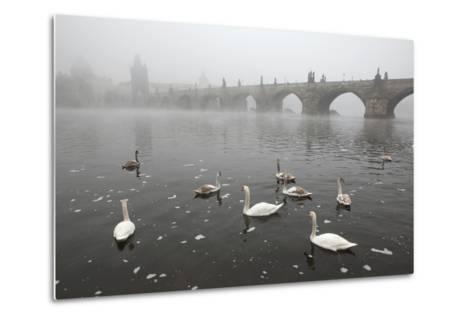 Morning Fog over Swimming Swans and the Charles Bridge in Prague, Czech Republic.-wrangel-Metal Print
