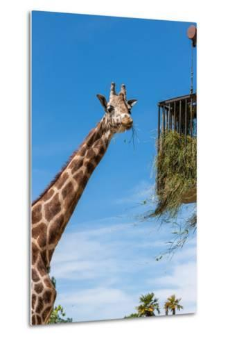 Giraffe Eating in Zoo on a Background of Blue Sky-master1305-Metal Print