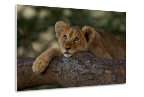 A Lion Cub Rests on a Tree Branch in Serengeti National Park-Michael Nichols-Metal Print
