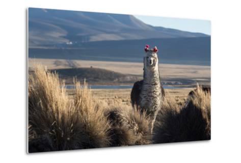 A Portrait of a Large Llama in Sajama National Park, Bolivia-Alex Saberi-Metal Print