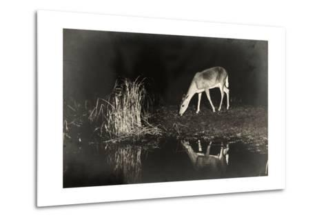 A View of a Red Deer's Reflection in the Lake as it Eats-George Shiras-Metal Print