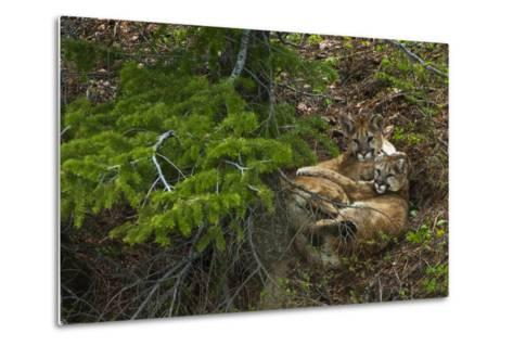 Young Cougars Rest under a Pine Tree in Wyoming's Bridger Teton National Forest-Steve Winter-Metal Print