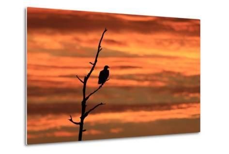 A Bald Eagle, Haliaeetus Leucocephalus, Perched in a Tree at Sunrise-Robbie George-Metal Print