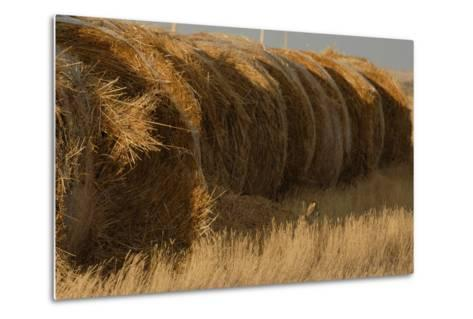 A White-Tailed Jack Rabbit, Lepus Townsendi, Camouflaged in the Grasses Near Hay Bales-Michael Forsberg-Metal Print