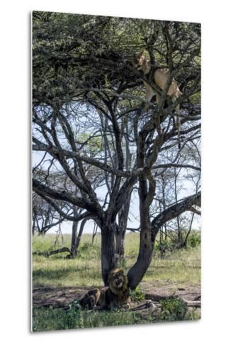 An African Lioness in Estrus Sleeps in a Tree to Avoid Insects and the Attentions of the Male-Jason Edwards-Metal Print