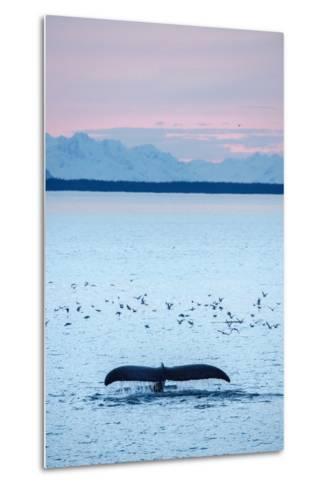 A Humpback Whale, Megaptera Novaeangliae, Diving Near a Flock of Birds at Sunset-Jonathan Kingston-Metal Print