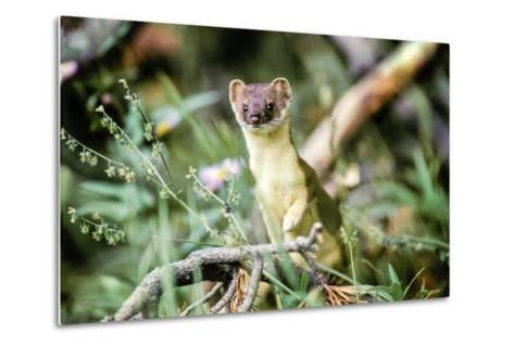 A Long Tailed Weasel in its Brown and Tan Summer Coat-Tom Murphy-Metal Print