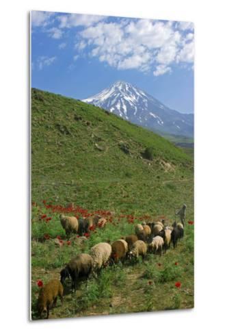 A Shepherd and His Sheep on the Hills Near Mount Damavand, a Sacred Mountain in Persian Culture-Babak Tafreshi-Metal Print