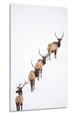 A Group of Elk Cross an Ice and Snow-Covered Lake in a Totally White Landscape-Robbie George-Metal Print