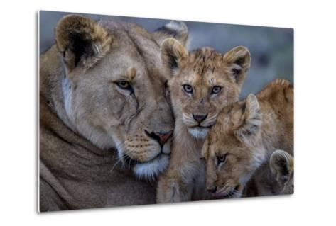 A Remote Car Captures Lion Cubs from the Vumbi Pride with a Lioness-Michael Nichols-Metal Print