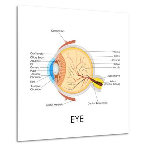 Human Eye Anatomy-stockshoppe-Metal Print