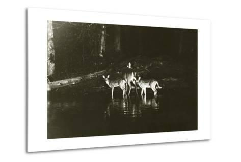 A Doe and Her Fawns are Caught by a Camera-George Shiras-Metal Print