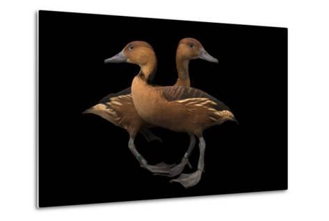 Two Fulvous Whistling Ducks, Dendrocygna Bicolor, at the Living Desert in Palm Desert, California-Joel Sartore-Metal Print