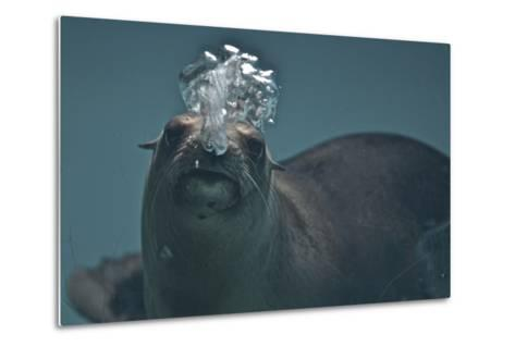 A California Sealion, Zalophus Californianus, Blows Bubbles as it Swims in an Aquarium Tank-Kike Calvo-Metal Print