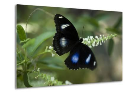 A Great Egg-Fly Butterfly, Hypolimnas Bolina, in the Butterfly Garden-Joel Sartore-Metal Print