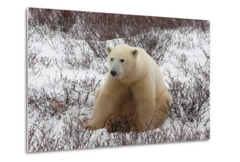 A Polar Bear, Ursus Maritimus-Kike Calvo-Metal Print