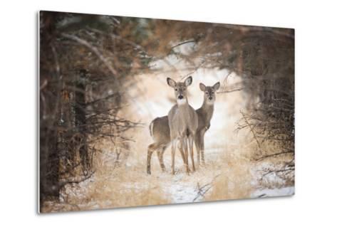 Two White-Tailed Deer, Odocoileus Virginianus, in a Snowy Clearing-Robbie George-Metal Print