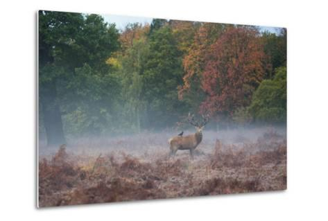 A Red Deer Stag Stands Against an Autumn Backdrop with a Jackdaw Perched on His Back at Sunrise-Alex Saberi-Metal Print