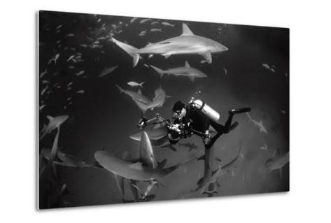 Caribbean Reef Sharks Swimming in a Frenzy around an Underwater Photographer-Jennifer Hayes-Metal Print