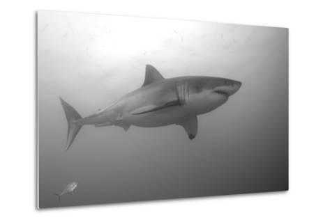 Portrait of a Male Great White Shark, Carcharodon Carcharias, Swimming-Jeff Wildermuth-Metal Print