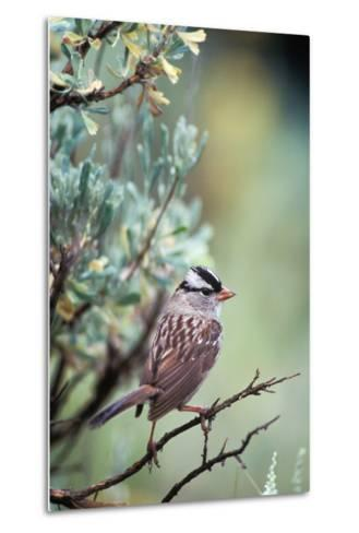 A White Crowned Sparrow, Zonotrichia Leucophrys, Perched on a Tree-Tom Murphy-Metal Print