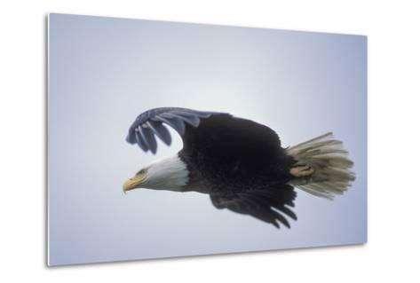 A Bald Eagle in Flight-Tom Murphy-Metal Print