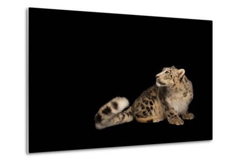 An Endangered Snow Leopard, Panthera Uncia, at the Miller Park Zoo-Joel Sartore-Metal Print