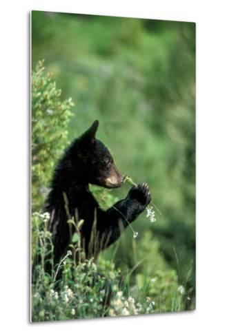 The American Black Bear Cub, Ursus Americanus, Sniffing Wildflowers-Tom Murphy-Metal Print