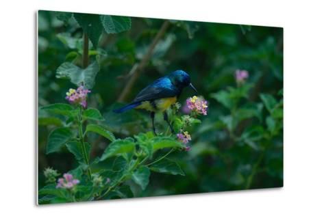 A Beautiful Iridescent Blue Bird on a Branch of Flowers-Bob Smith-Metal Print