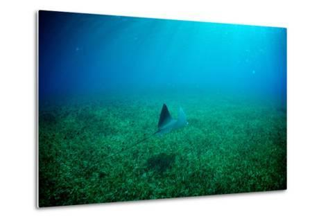 A Spotted Eagle Ray, Aetobatus Narinari, Swimming over a Bed of Eel Grass-Heather Perry-Metal Print