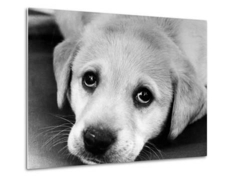 A Labrador puppy, 1978-Freddie Reed O.B.E.-Metal Print
